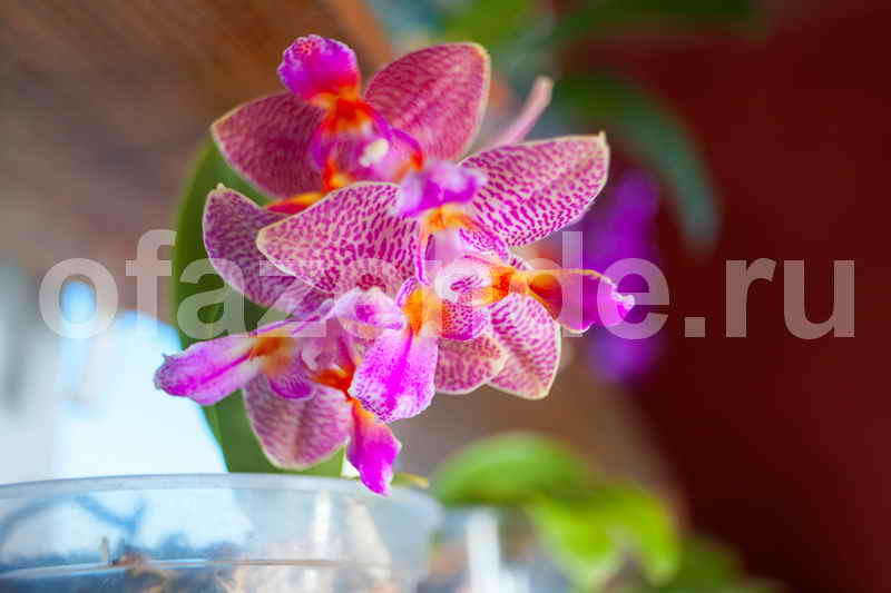 Перекись водорода – одно из лучших удобрений для орхидей