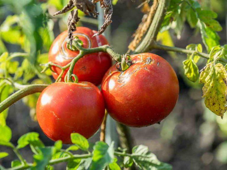 Болезни помидоров в тепличных условиях