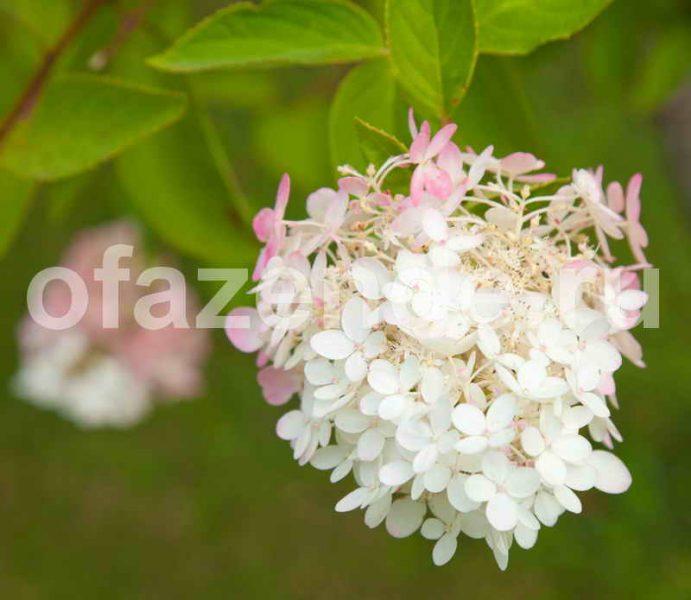 Метельчатая гортензия для Вашего сада: посадка, обрезка, подкормка