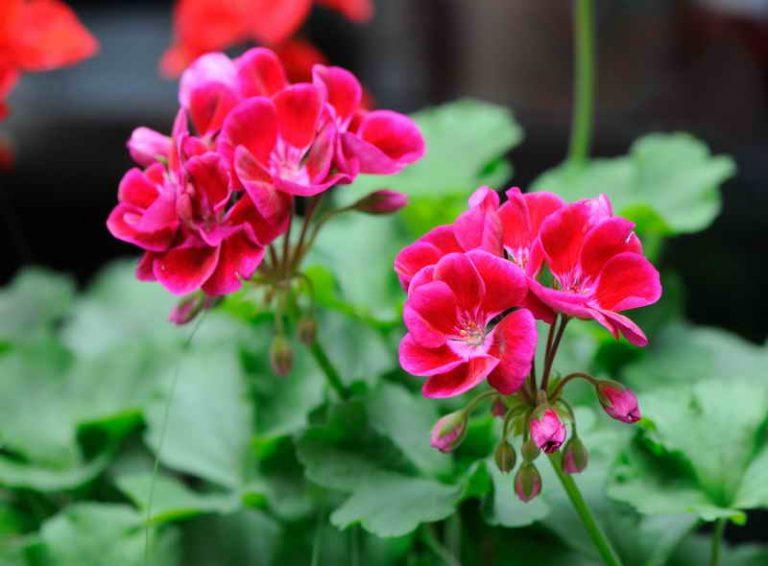 Чтобы герань всегда радовала цветением, нужна 1 капля йода