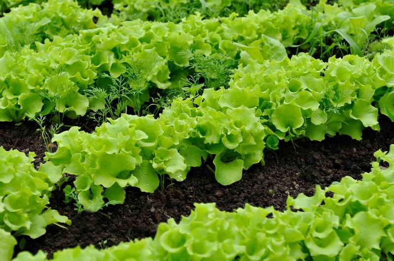 Как правильно сажать салат в открытый грунт семенами