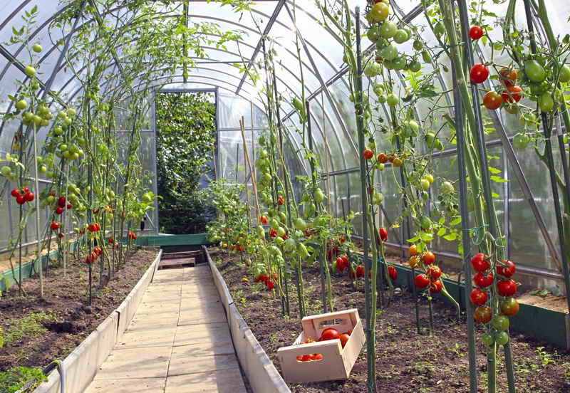 Уход за помидорами в тепличных условиях