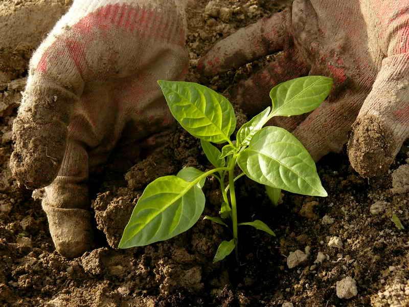 Когда и как высаживать перец в грунт