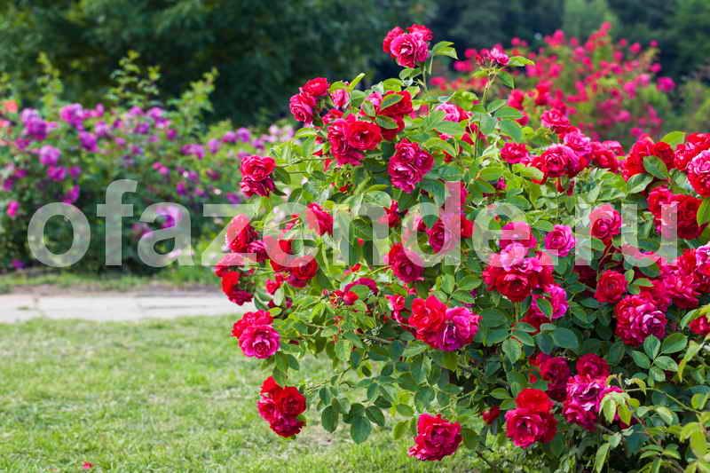 Растим розочку из срезанного цветочка