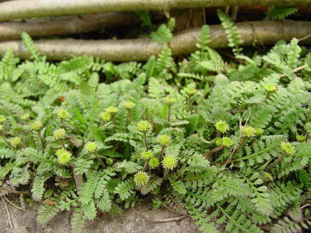 Котула для Вашего сада: Фото, виды, выращивание