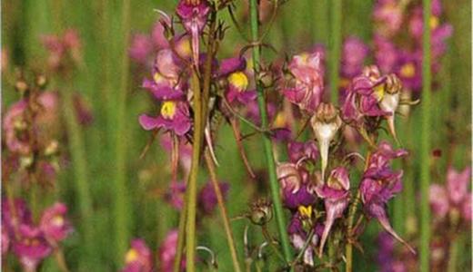 Льнянка для Вашего сада: виды и описание