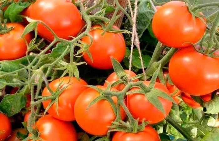 Самые ранние сорта помидоров: виды и описание