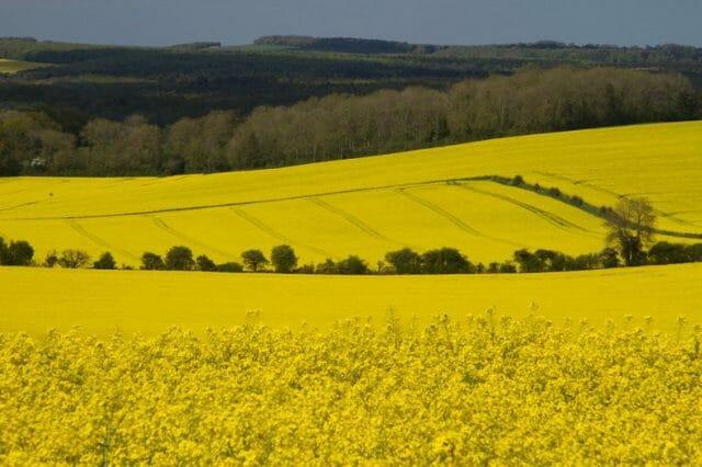 Репа: особенности выращивания и сорта