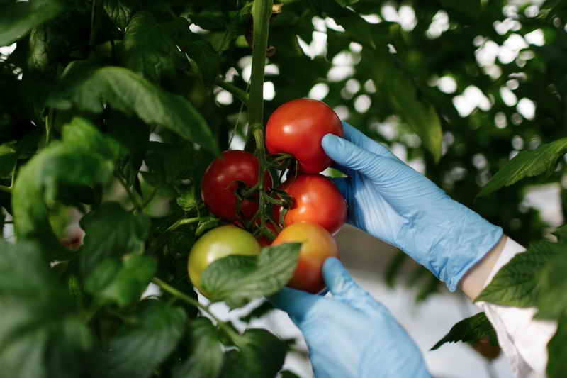 """Чтобы томаты не """"жировали"""" зеленью: 5 приемов"""