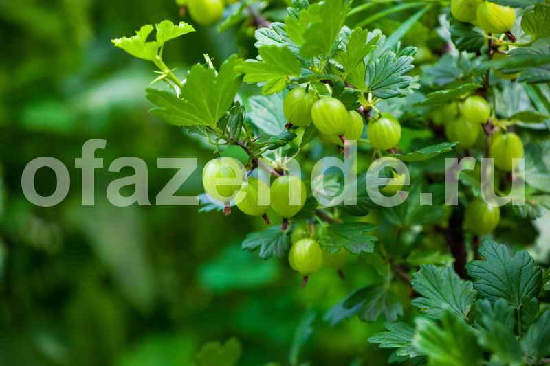 Саженцы ягодных кустарников за три месяца