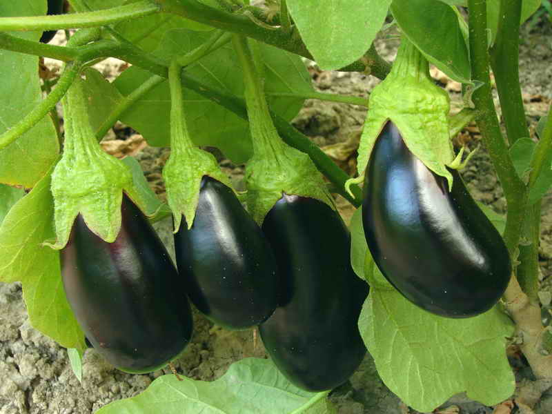 Как получить богатый урожай баклажан?