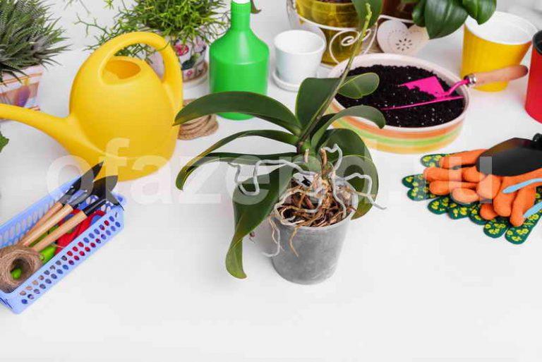 Размножаем орхидею