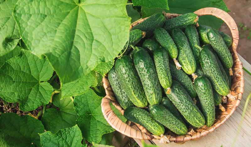Огурцы : сильнее корни - больше урожай