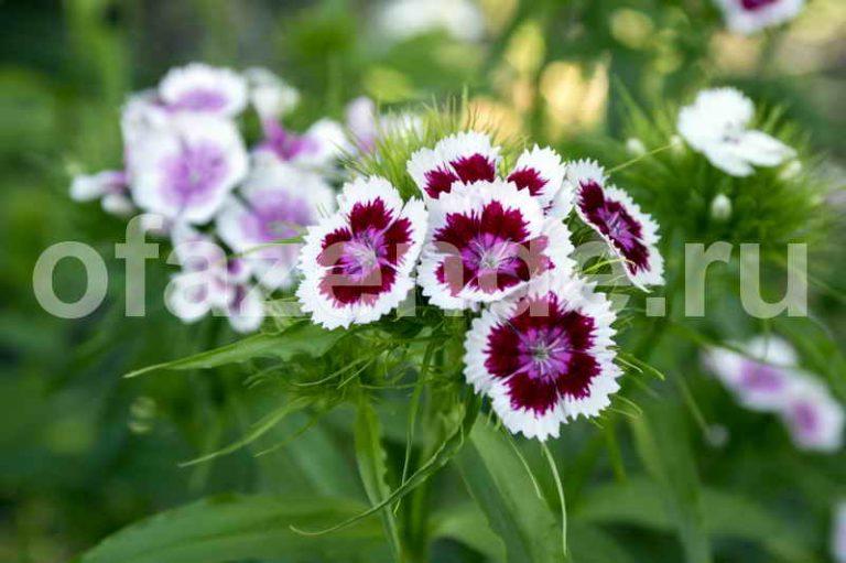 Секреты выращивания гвоздики
