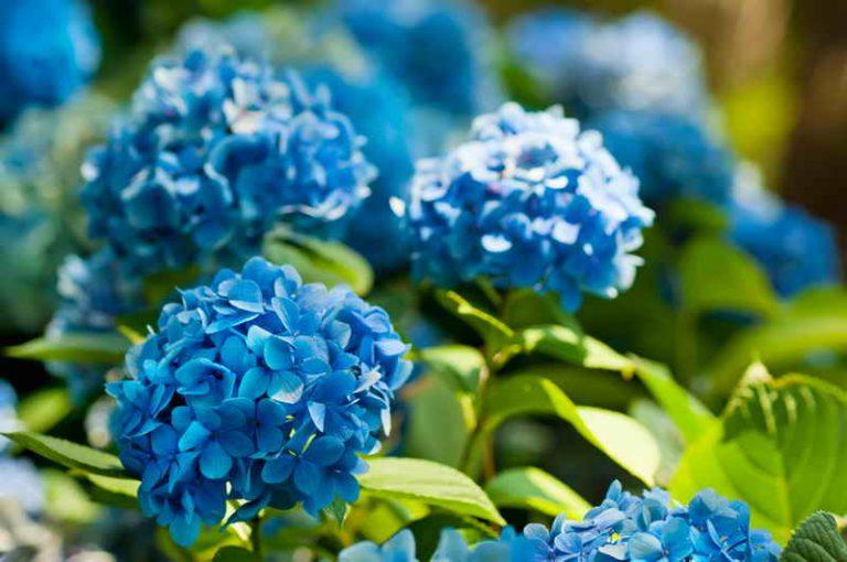 Гортензия – чудесное растение с роскошными цветами