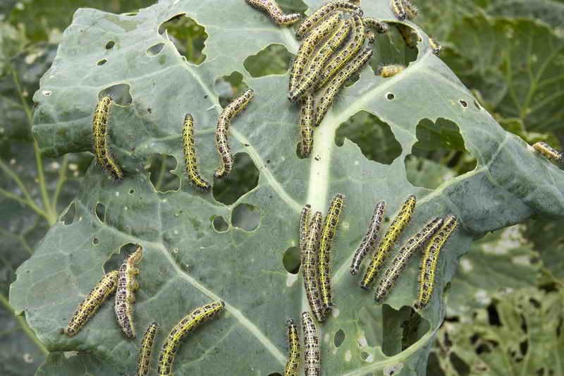 Одна из радостей огородника - здоровая капуста