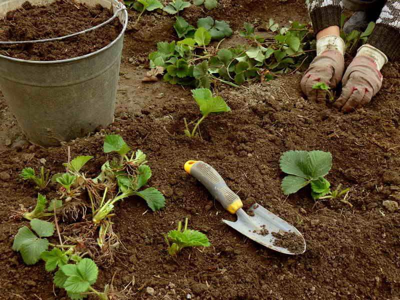 Весна – восстанавливаем клубнику после зимы