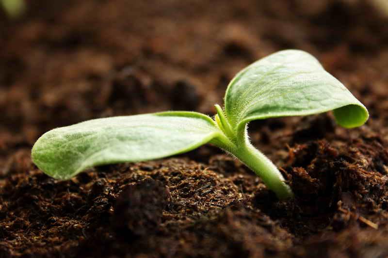 Выращиваем кабачки