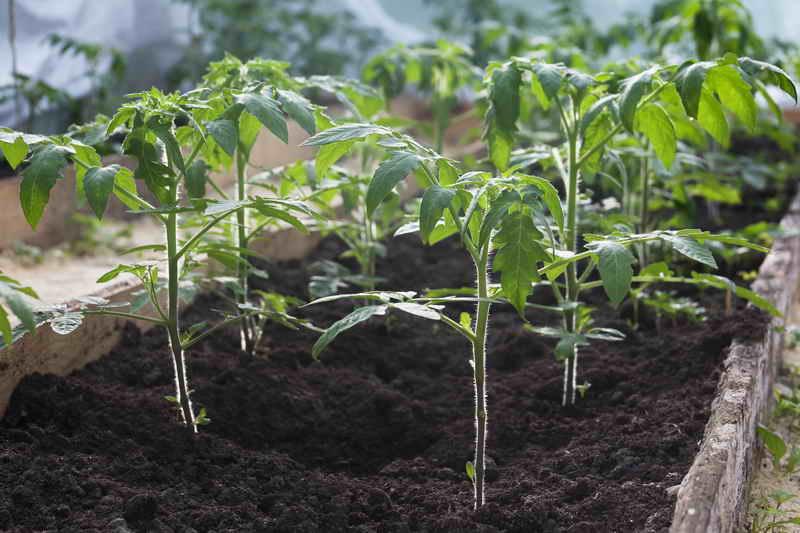 Выращиваем помидорную рассаду на молоке