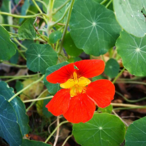 Секреты выращивания настурции