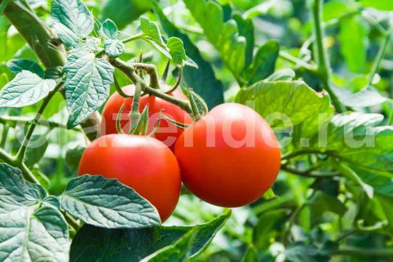Ошибки в выращивании томатов
