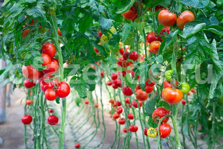 Спасаем томаты от жары в теплице