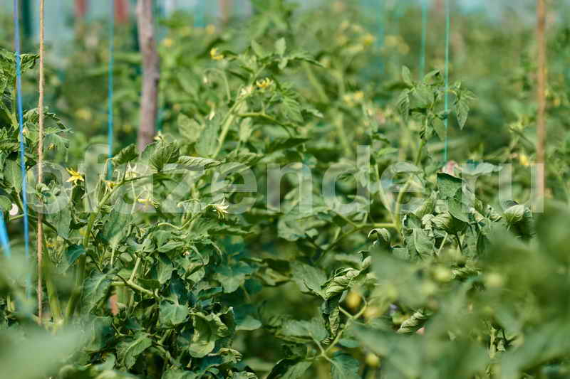 Хитрости ухода за томатами