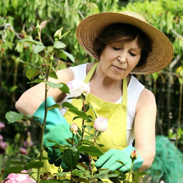 Черенкование роз - простой способ вегетативного размножения