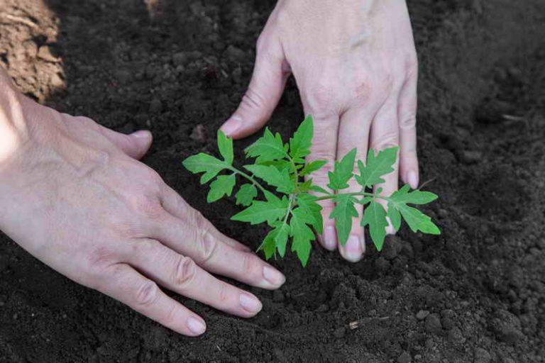 Какие ошибки приводят к снижению урожая томатов