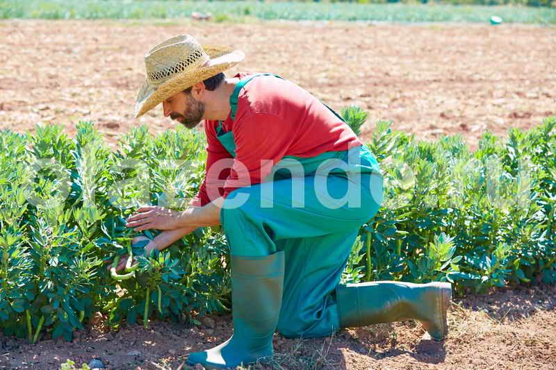 Выращивание фасоли на огородах
