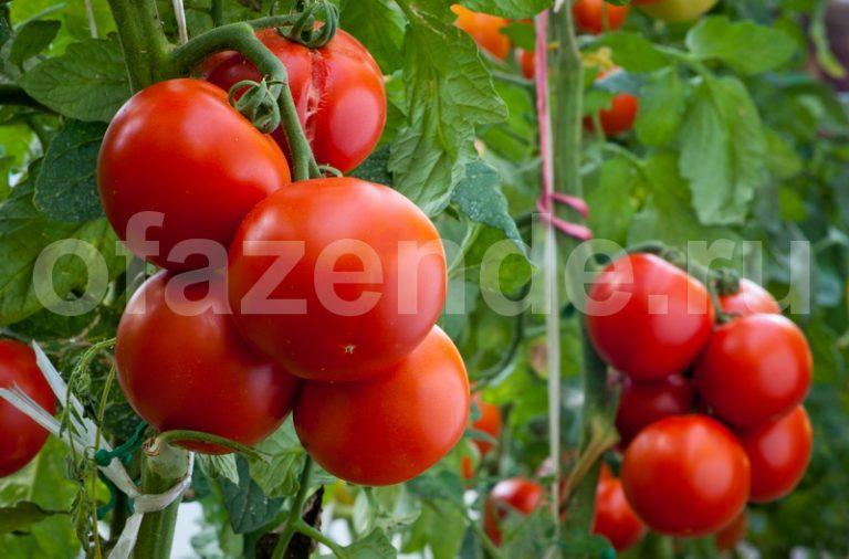 Секреты высокого уражая помидоров