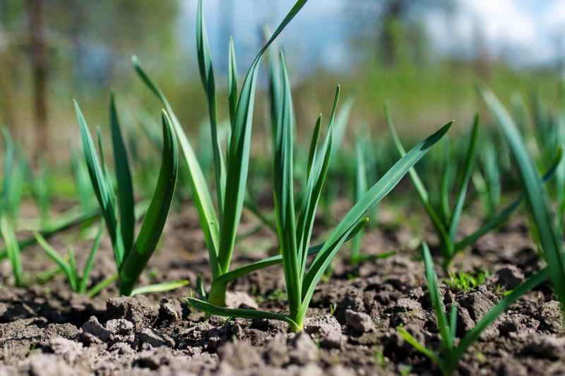 Как добиться высокого урожая чеснока