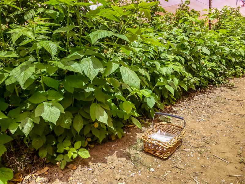 Успешный способ выращивания малины