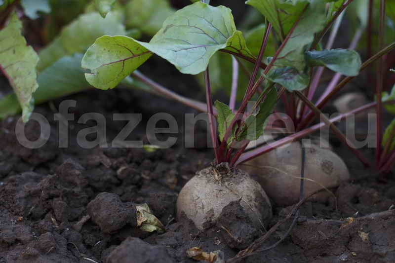 Выращиваем свеклу на сорняках