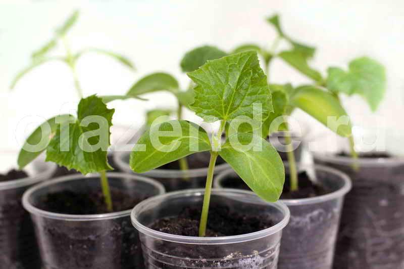 Пучковые огурцы: методика выращивания