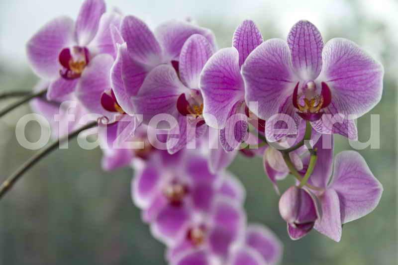 Как заставить Орхидею фаленопсис зацвести?