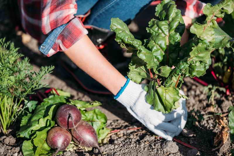 6 шагов для богатого урожая свеклы