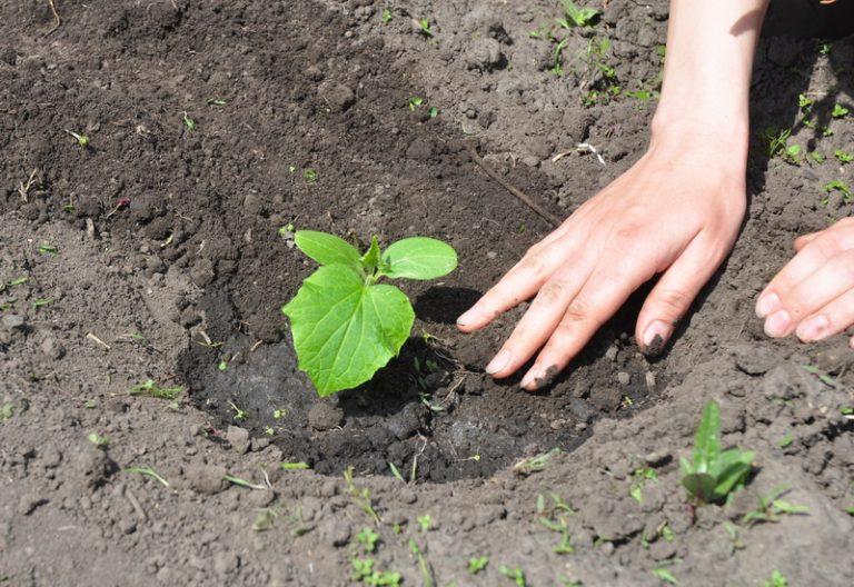 Марганцовка в садово-огородных делах