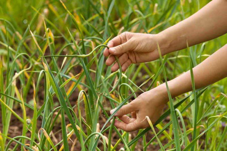 Защита чеснока (лука) от вредителей и болезней