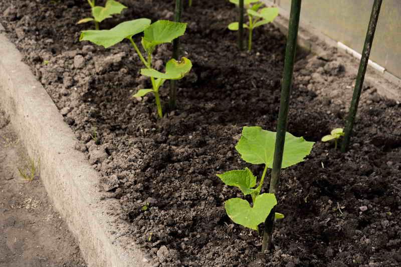 Как вырастить богатый урожай огурцов на своем дачном участке