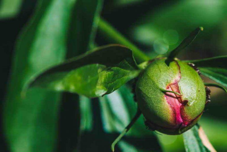 Плохо цветут пионы - основные ошибки ухода