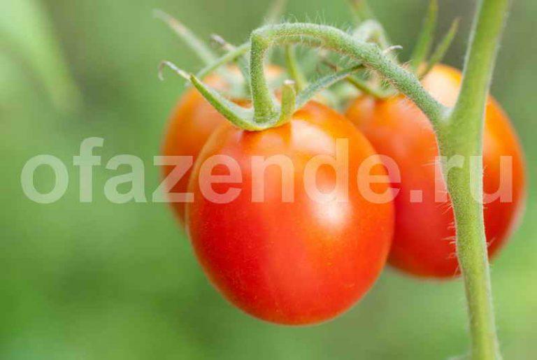 Что нужно томатам в августе-сентябре