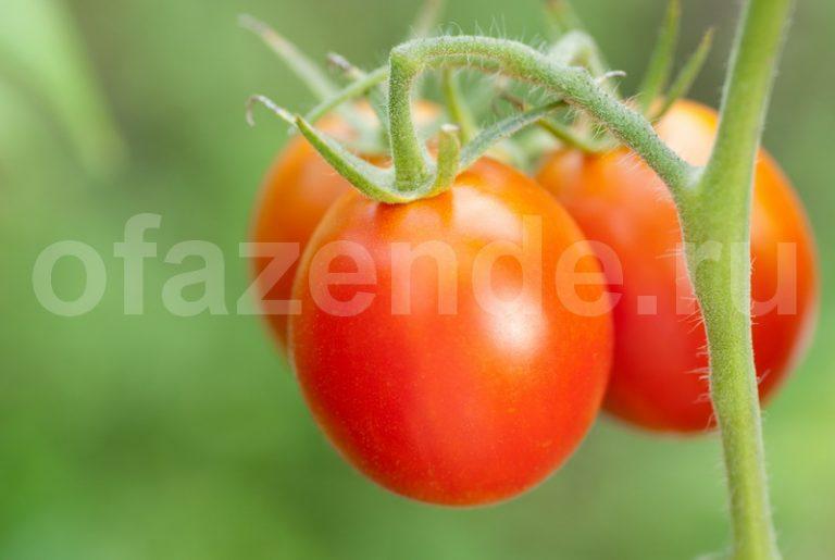 Маленькие секреты выращивания вкусных помидоров