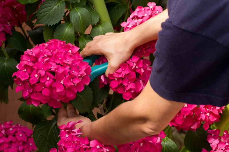 Выращивание гортензии в саду