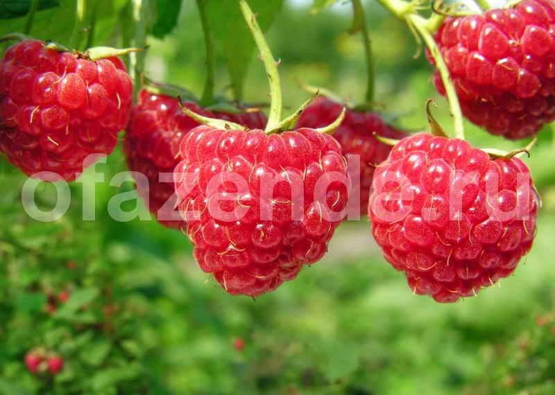 13 особенностей выращивания малины
