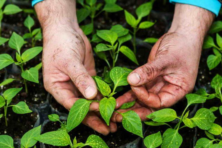 Как правильно формировать перец, чтобы увеличить созревание и рост плодов?
