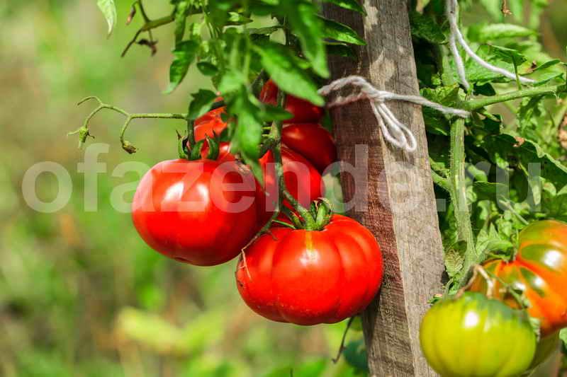 Выращивание сладких томатов в теплице