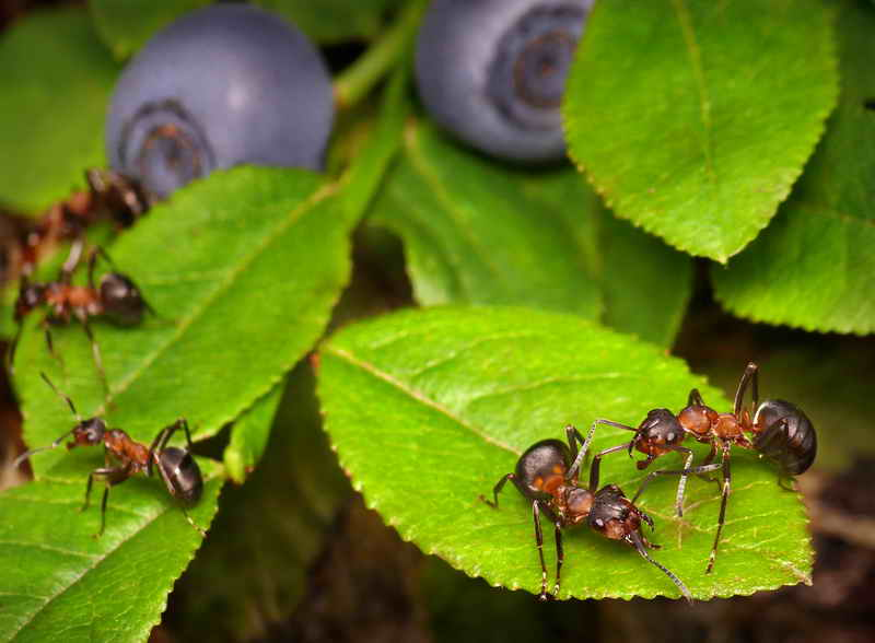 Садовые муравьи: в чем польза и вред?