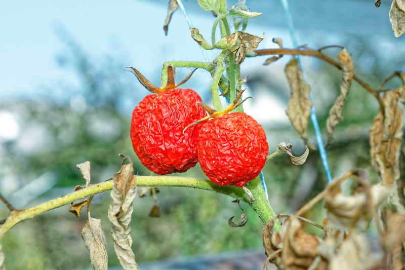 Как защитить листья помидоров от увядания