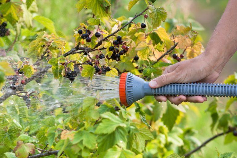 Смородину нужно постоянно омолаживать - и большой урожай вам обеспечен